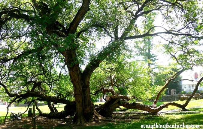 Osage Orange Tree, Fort Harrod, Harrodsburg, Ky.